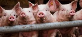 Страшный вирус уничтожил больше тысячи животных на Харьковщине